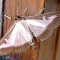 Una nuova farfalla dalle nostre parti