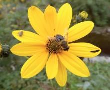 margherita-gialla-topinambur-helianthus-tuberosus