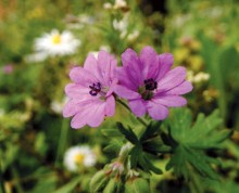 piccoli-fiori-di-prato-geranium-molle