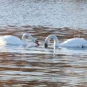 E alla fine sono arrivati i Cigni nel nuovo lago di Niguarda