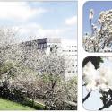 La Collina dei Ciliegi in fiore. Imperdibile!