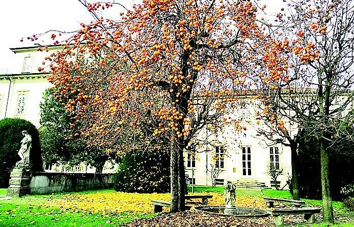 La pianta dei cachi in Villa Clerici